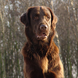 Luke flatcoated retriever